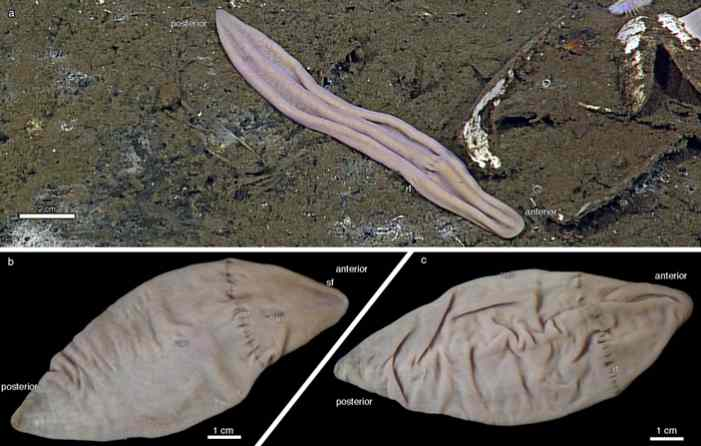 Кембрийское ископаемое Saccorhytus поместили воснование эволюционной линии вторичноротых