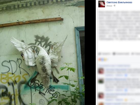 Жители Курганской области жестоко распяли лебедя на стене дома