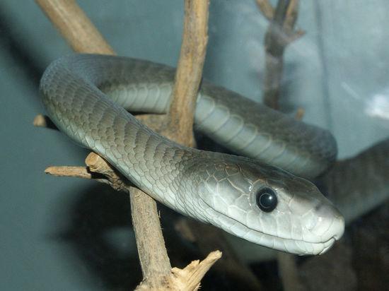 «Отвезите в Джанелидзе, хочу жить!»: Последние слова укушенного змеей блогера