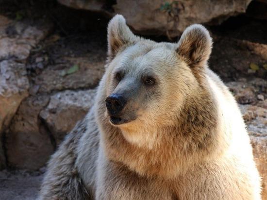 Американец напал на медведя, спасая свою собаку