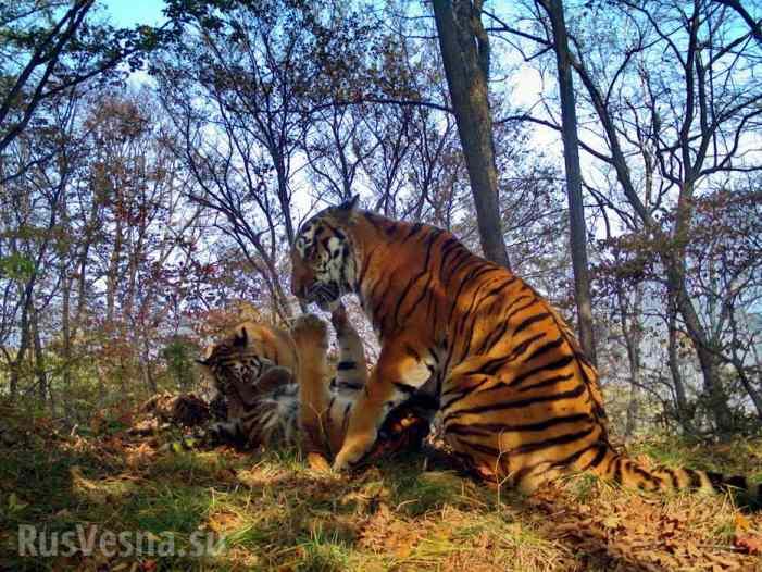 Семья тигров устроила «селфи-сессию» перед фотоловушкой (ФОТО, ВИДЕО)